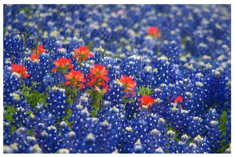 Texas Bluebonnets--Photobucket