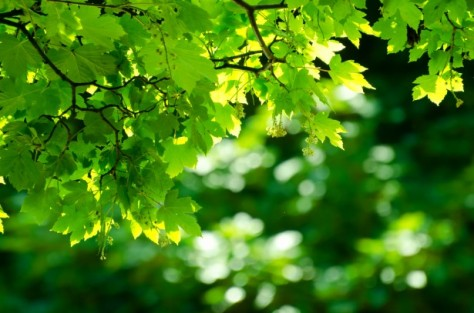 Green Leaves by George Hodan--Public Domain Pictures